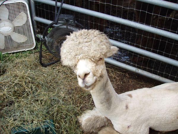 ontwormen bij alpaca
