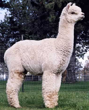 4Peruvian Legacy 6016 duurste alpaca ter wereld