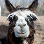 alpaca heeft rechte oren
