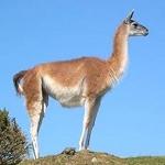 guanaco is een kameelachtige